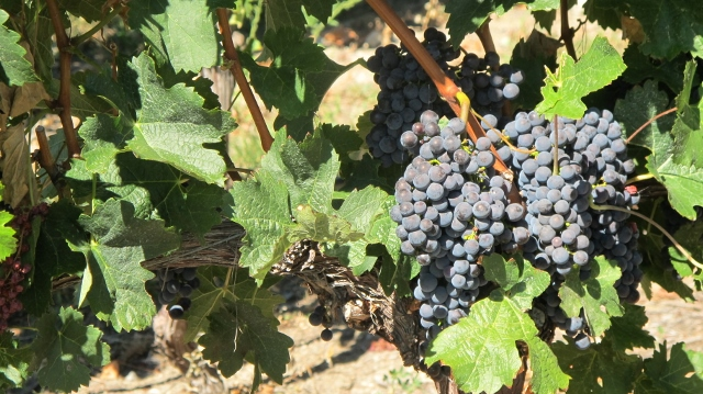 Grapes ready for harvest in Canada's Okanagan Wine Country.
